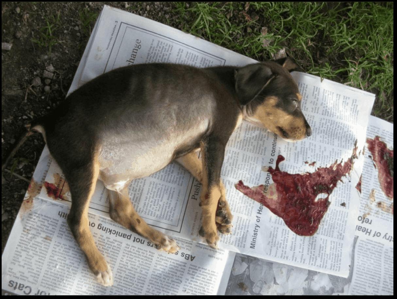 Brown dog ticks in dog ear