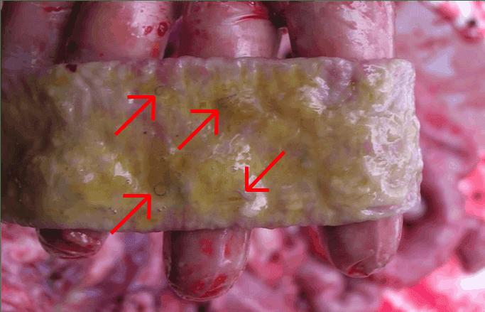 Hookworm on a dog's gut. Photo courtesy: Steven Cutter