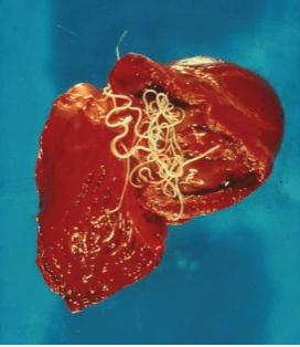 Heartworms inside dog's heart. Photo courtesy: Nick Sangster University of Sydney